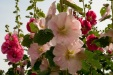 Aries: Hollyhocks
