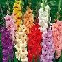 August: Gladiolus