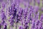 Gemini: Lavender