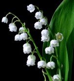 May: Lily of the Valley