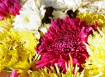 November: Chrysanthemum
