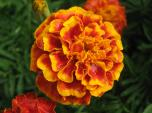 October: Marigold