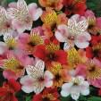 Pisces: Alstroemeria/Peruvian Lily