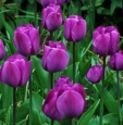 Scorpio: Purple Tulip