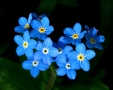 September: Forget-Me-Nots